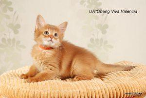 сомалийская кошка Валенсия