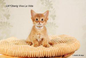 Сомалийская кошка котенок Вива ла Вида