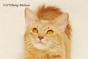 фото сомалийской кошки фавного окраса